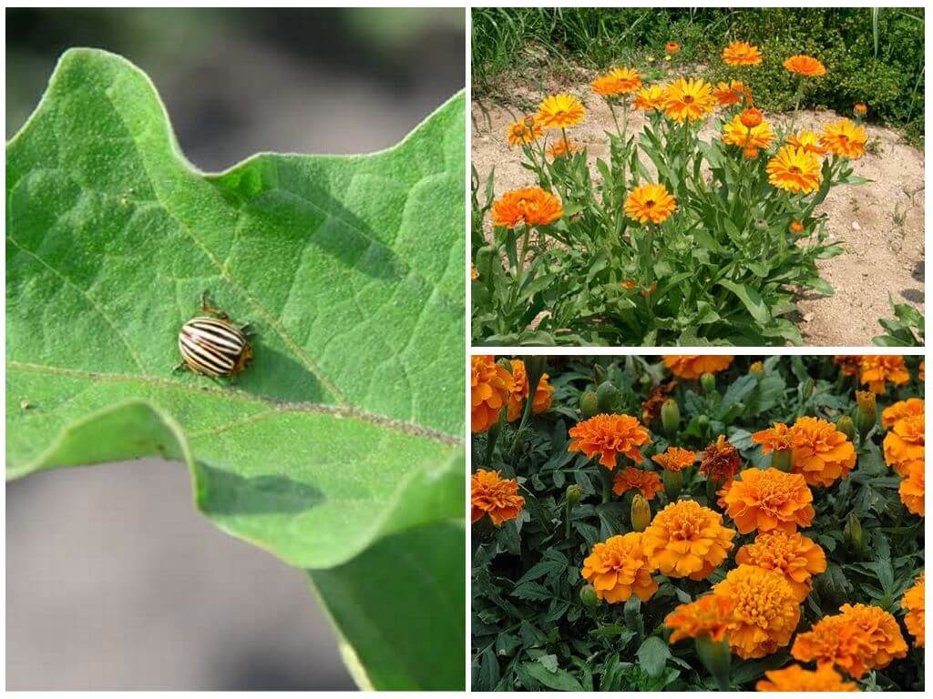Растения отпугивающие колорадского жука