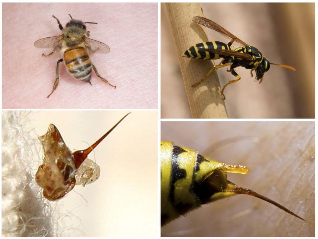 Пчела и оса, их жала