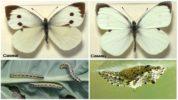 Самка и самец капустницы
