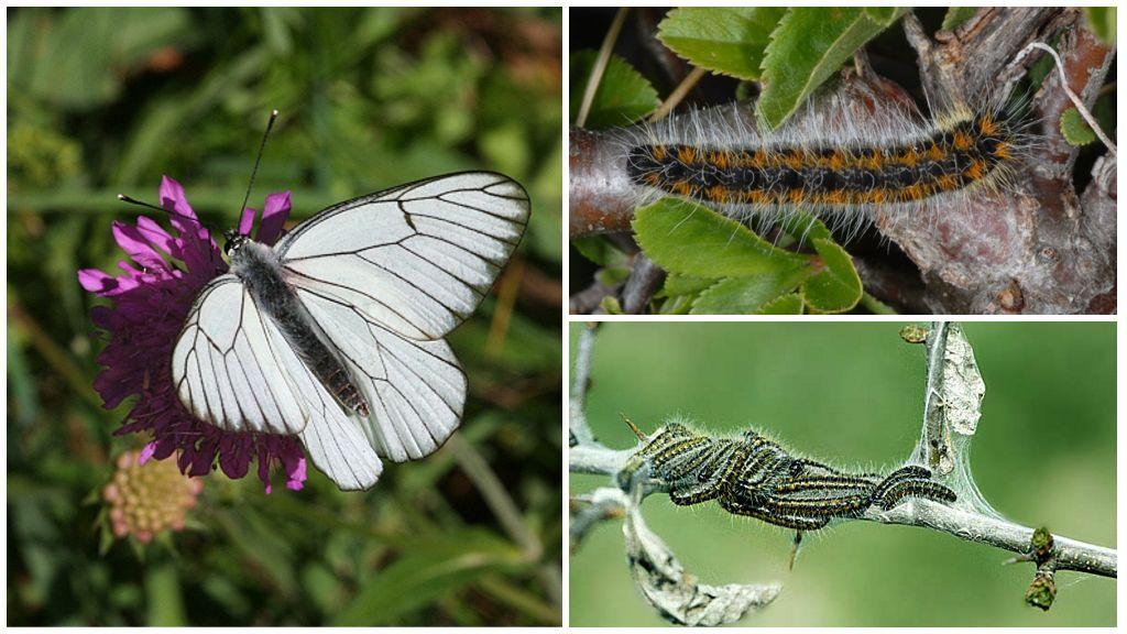 Гусеница и бабочка боярышницы