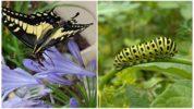 Бабочка черный ласточкин хвост