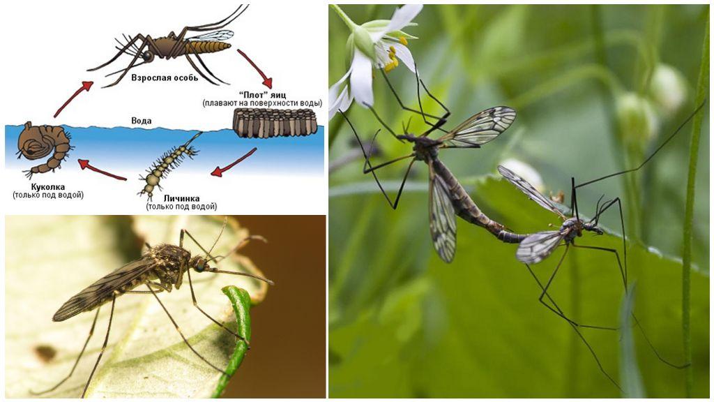 Цикл размножения комара