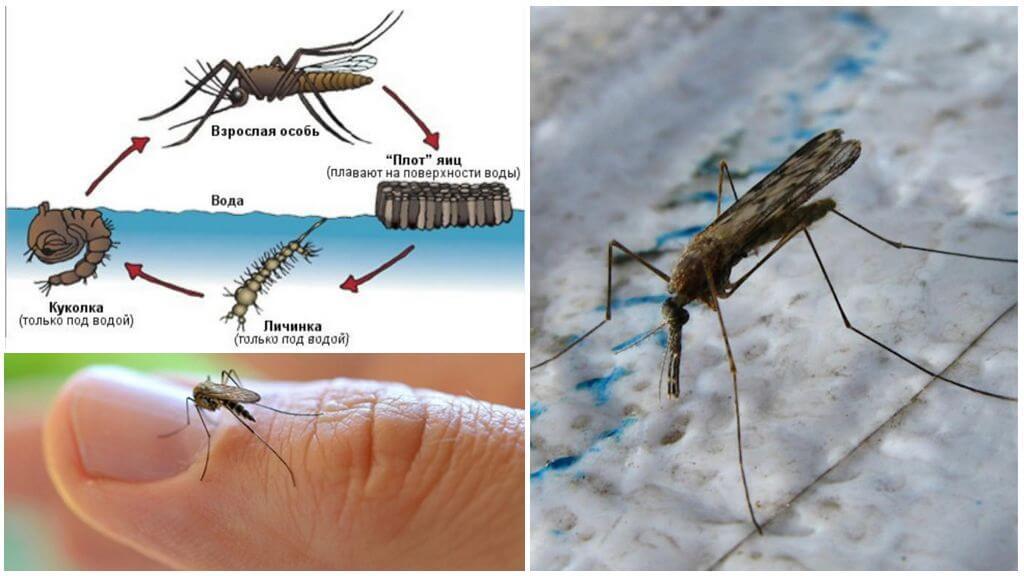 Цикл размножения малярийного комара