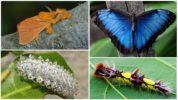 Дальцерида и её гусеница слева, голубая морфо и её личинка справа
