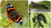 Гусеницы бабочки Адмирал