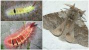 Гусеница краснохвостка