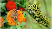 Бабочка махаон и её гусеница