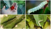 Гусеницы на клубнике