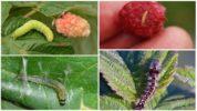 Гусеницы на малине