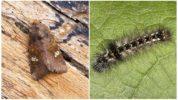 Бабочка и гусеница совки