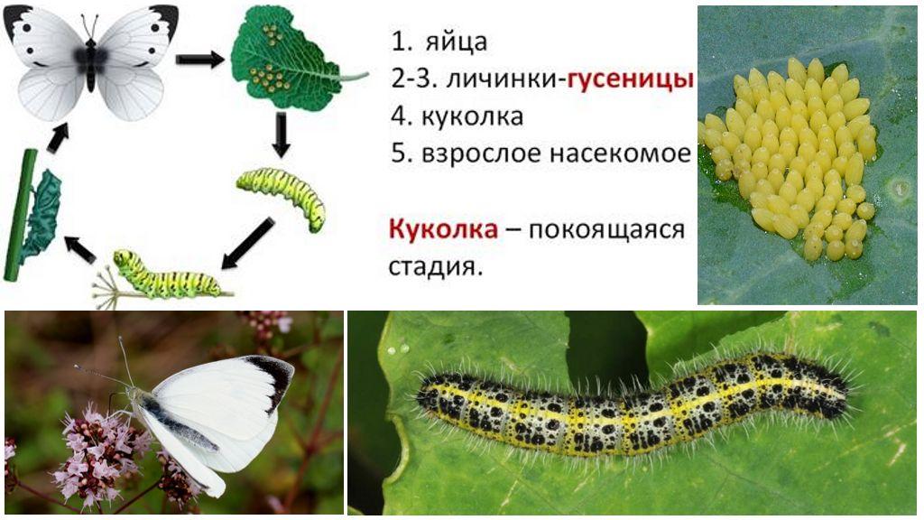 Цикл развития бабочки капустницы
