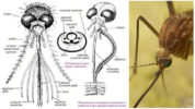 Строение головы комара