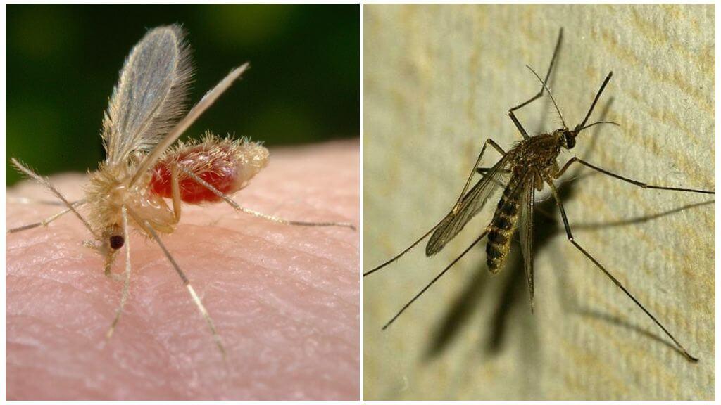 Москит и комар