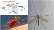 Анатомия комара