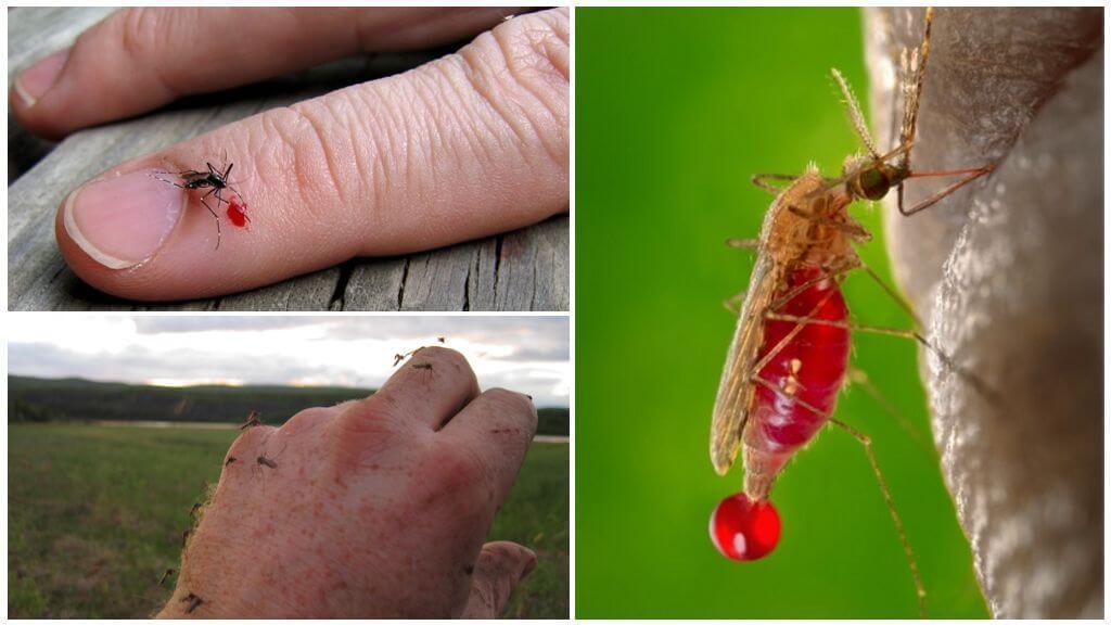 Комары пьют кровь