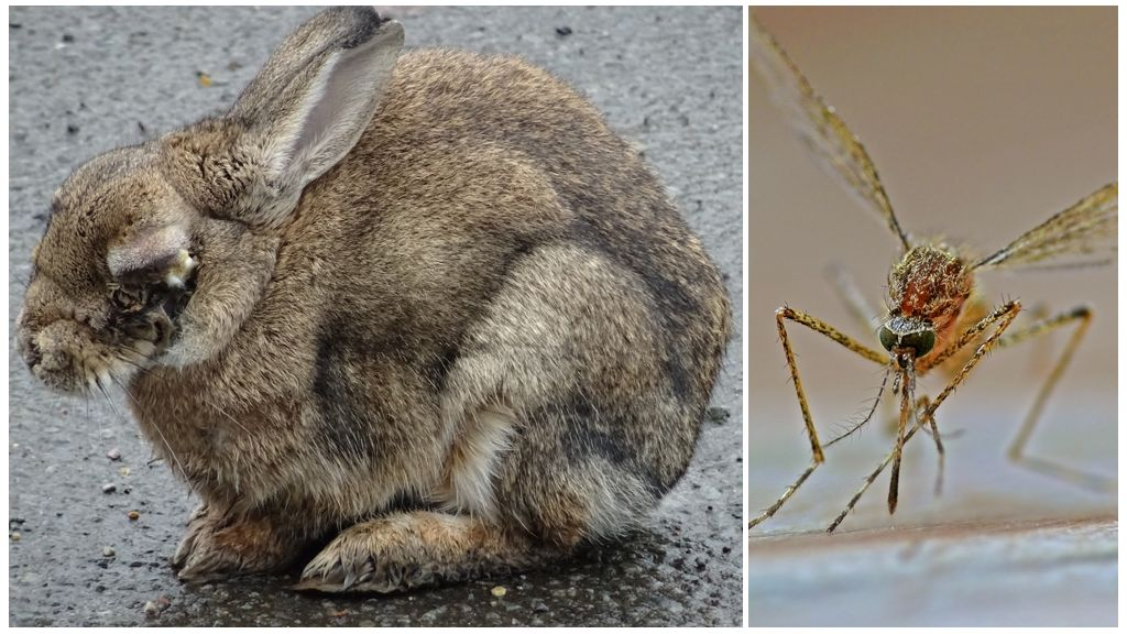 Как спасти кроликов от комаров на улице и в крольчатнике