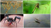 Насекомые, которые едят комаров и их личинок