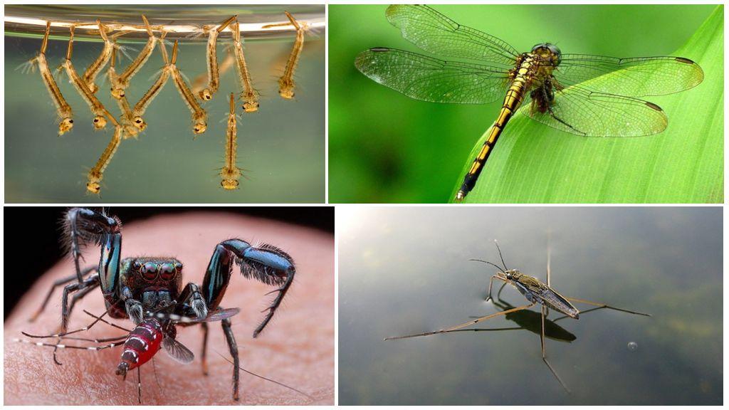 Кто питается комарами