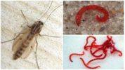 Личинки комара обыкновенного (мотыль)