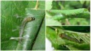Вред от гусениц листовертки
