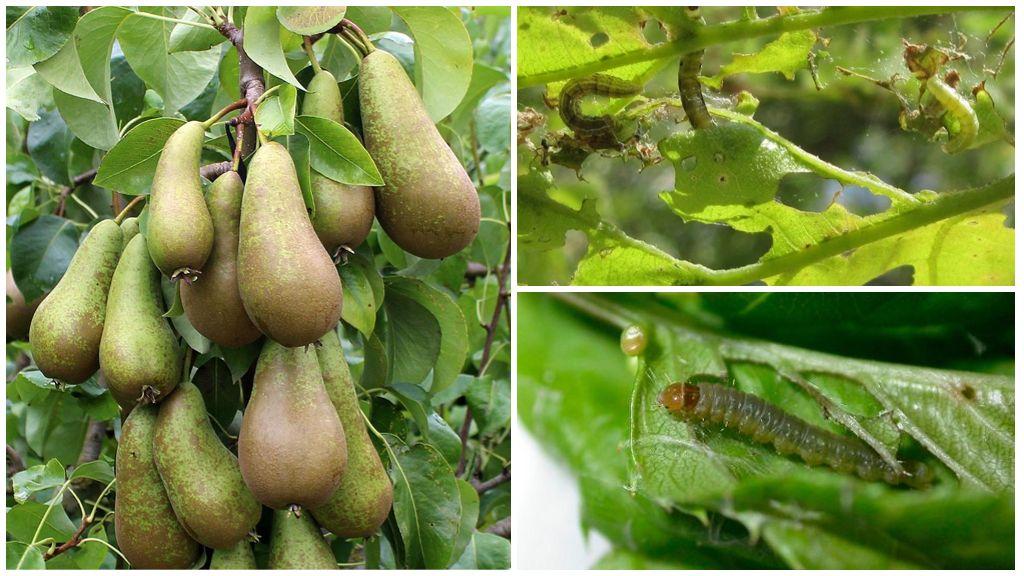Как бороться с листовертками на груше