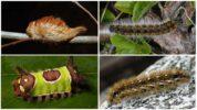 Мохнатые гусеницы