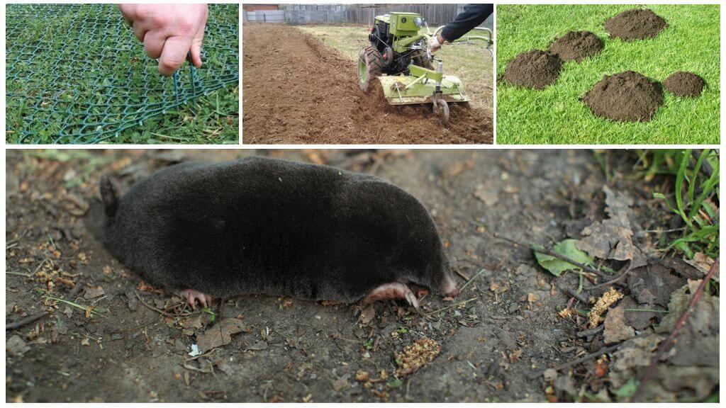 Как отпугнуть кротов с дачного участка или огорода