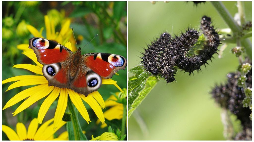 Бабочка павлиний глаз и её гусеница