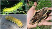 Павлиноглазка грушевая и её гусеницы