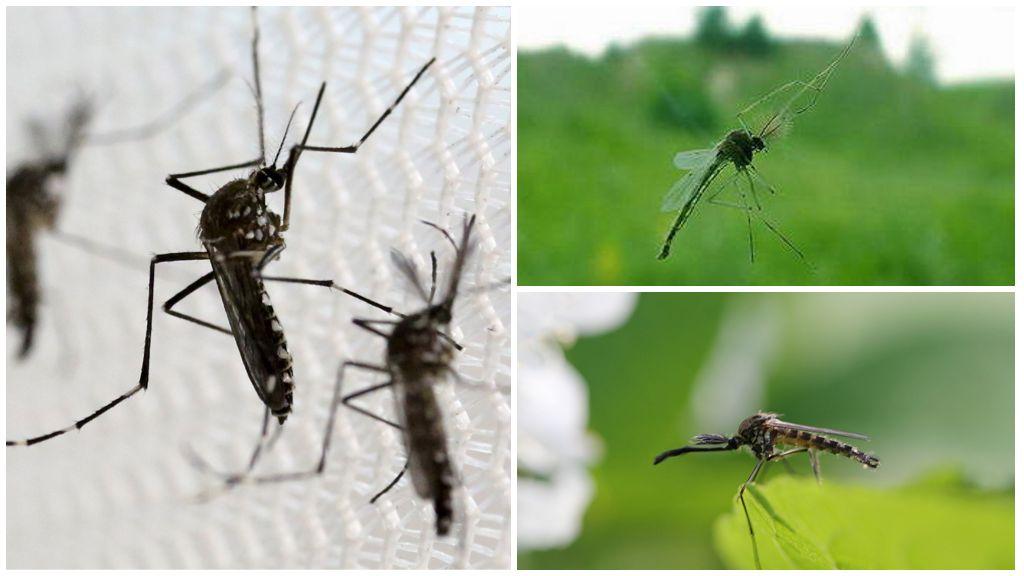 Писк комара