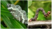 Гусеница бабочки пяденица