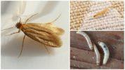 Личинки платяной моли