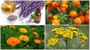Растения, отпугивающие бабочек капустниц