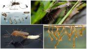 Размножение комара-долгоножки