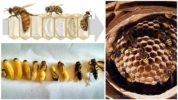 Размножение шершня