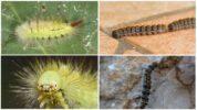 Российские виды ядовитых гусениц