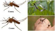 Самка и самец комаров