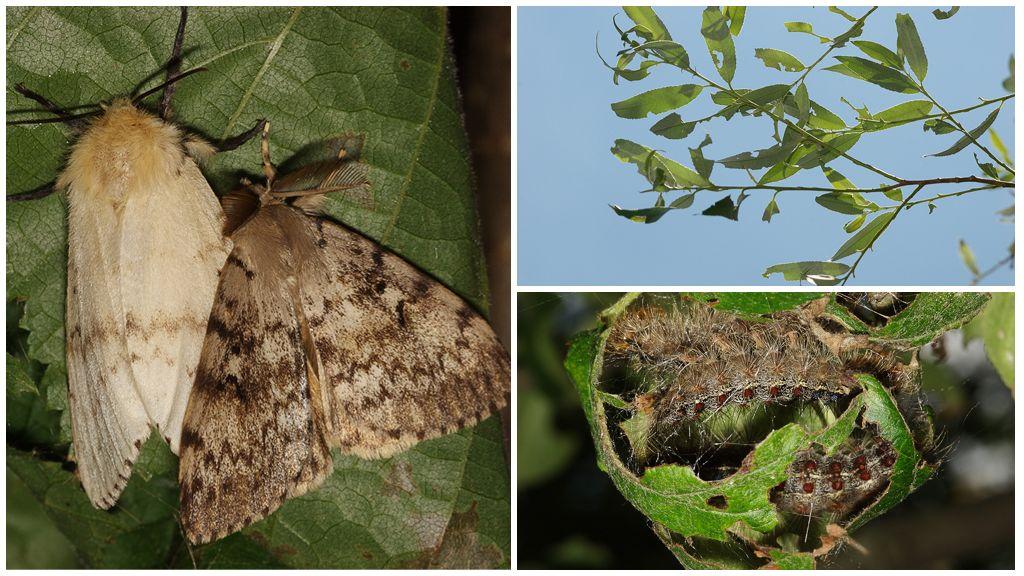 Описание и фото гусеницы и бабочки непарного шелкопряда