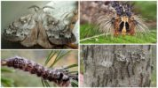 Гусеница и бабочка сибирского шелкопряда