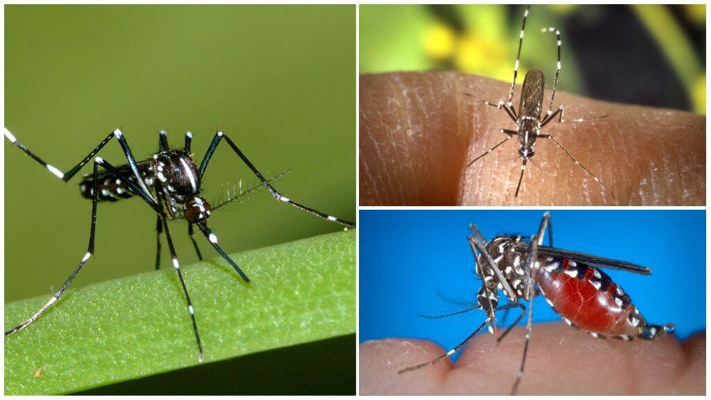 Представители вида Aedes (кусаки)