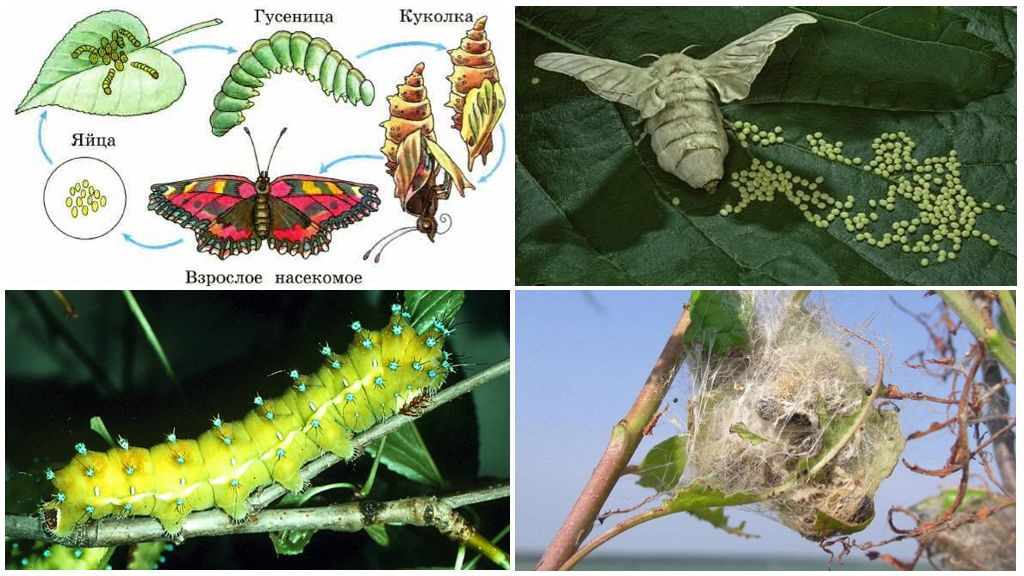 Жизненный цикл бабочек