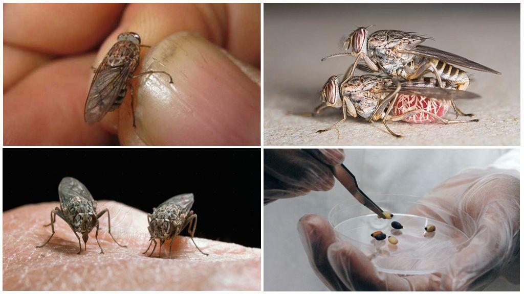 Размножение мухи цеце