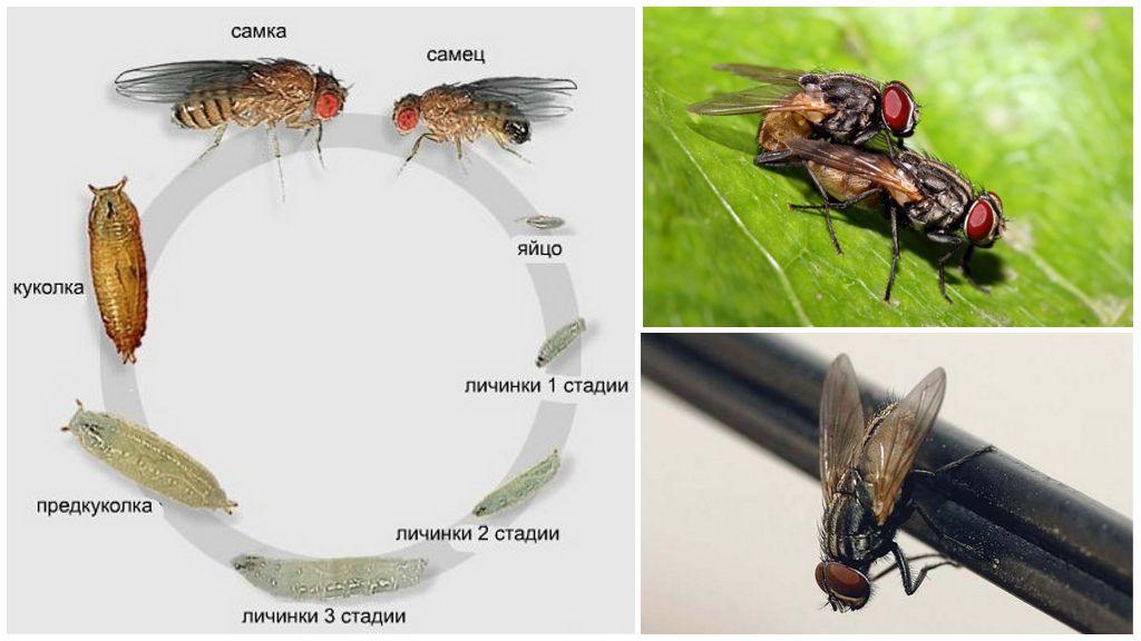 Жизненный цикл мухи обыкновенной