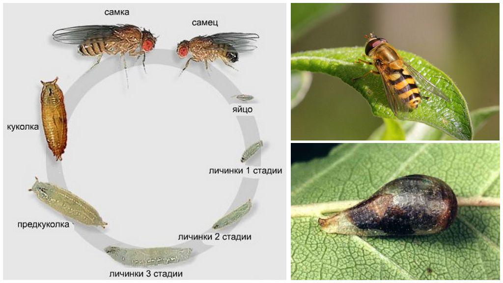 Жизненный цикл мухи-сирфиды