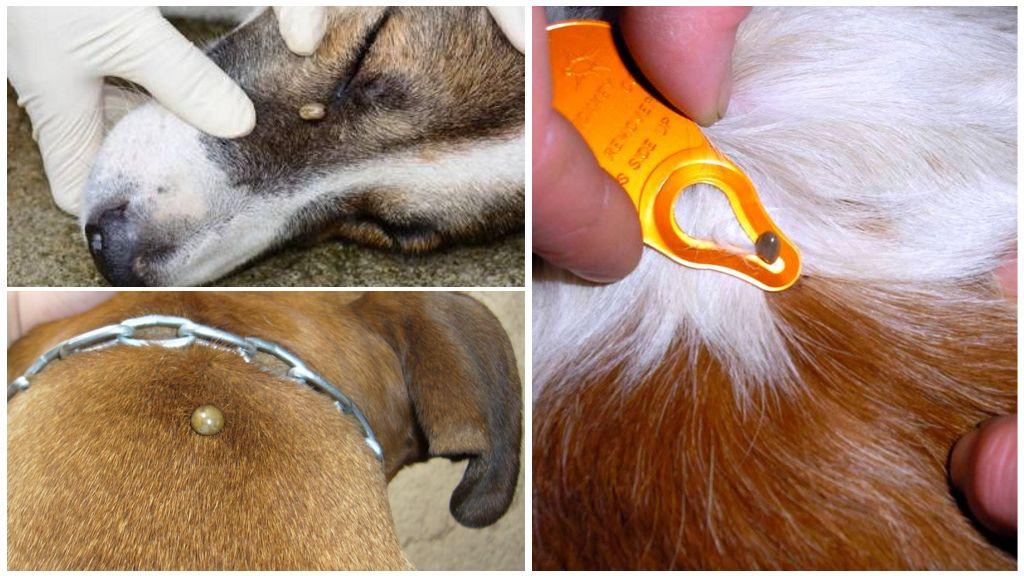 Укус клеща у собаки – симптомы, последствия и лечение в домашних условиях