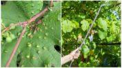 Виноградный клещ