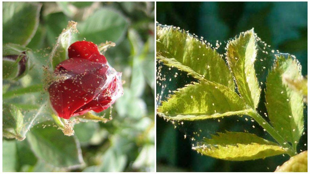 Растения, пораженные паутинным клещом