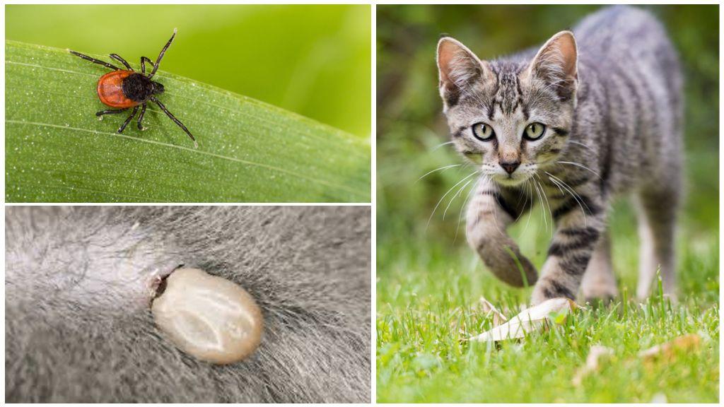 Клещ у кошки или кота