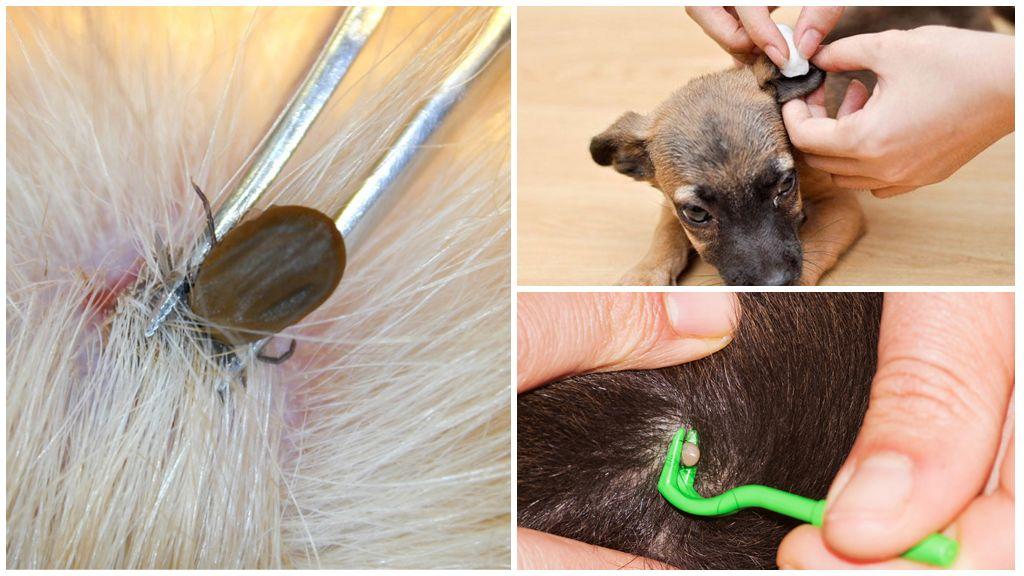 Извлечение клеща у собаки
