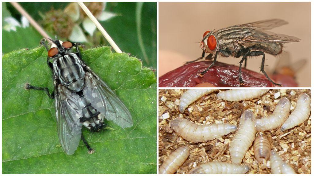 Мясная муха